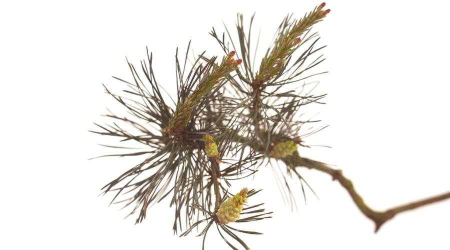 Pine-Pino albar