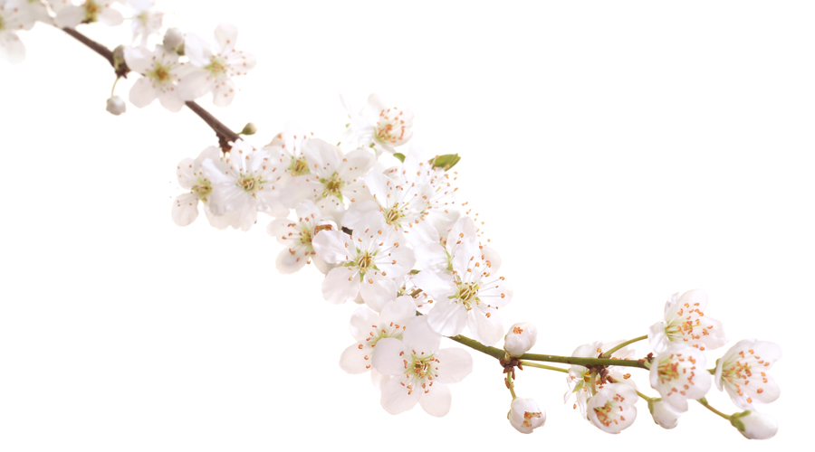 Cherry Plum-Ciruelo silvestre