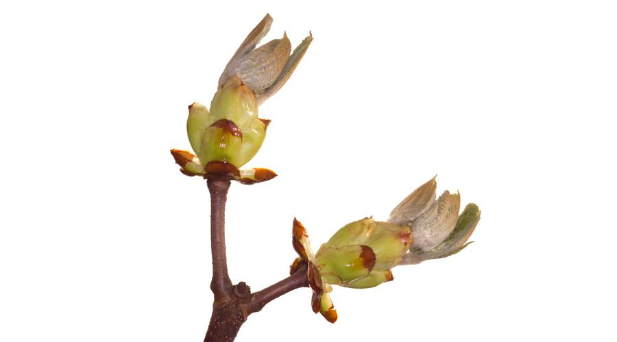 Chestnut Bud-Brote de Castaño de Indias