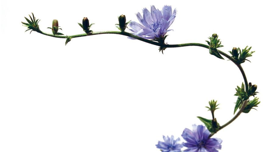 Chicory-Achicoria