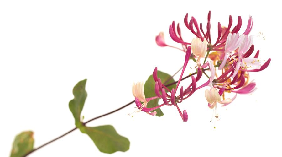 Honeysuckle-Madreselva