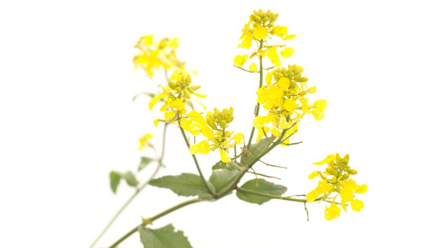 Mustard-Mostaza silvestre