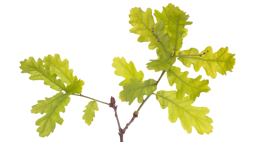 OAK-Roble