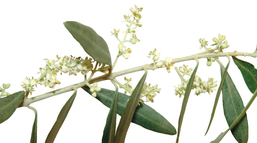 Olive-Olivo
