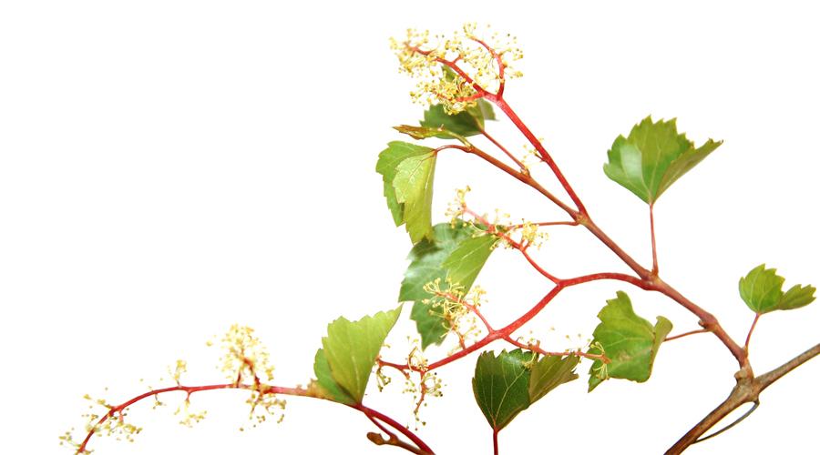 Vine-Vid silvestre