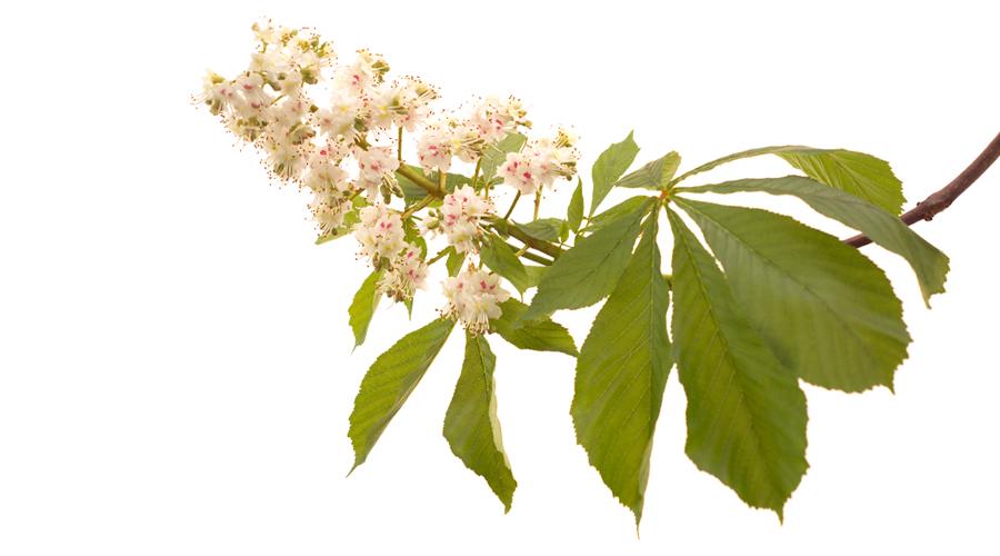 White Chestnut-Castaño de indias