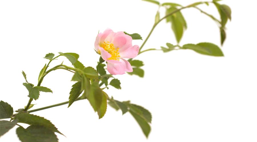 Wild Rose-Rosa silvestre