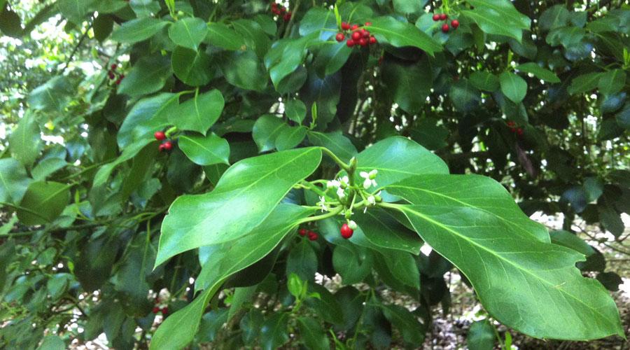 Holly, la planta de la Navidad que trae paz y amor